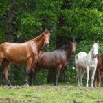 troupeau des chevaux de sang